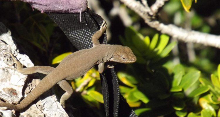 New lizard species Liolaemus janequeoae