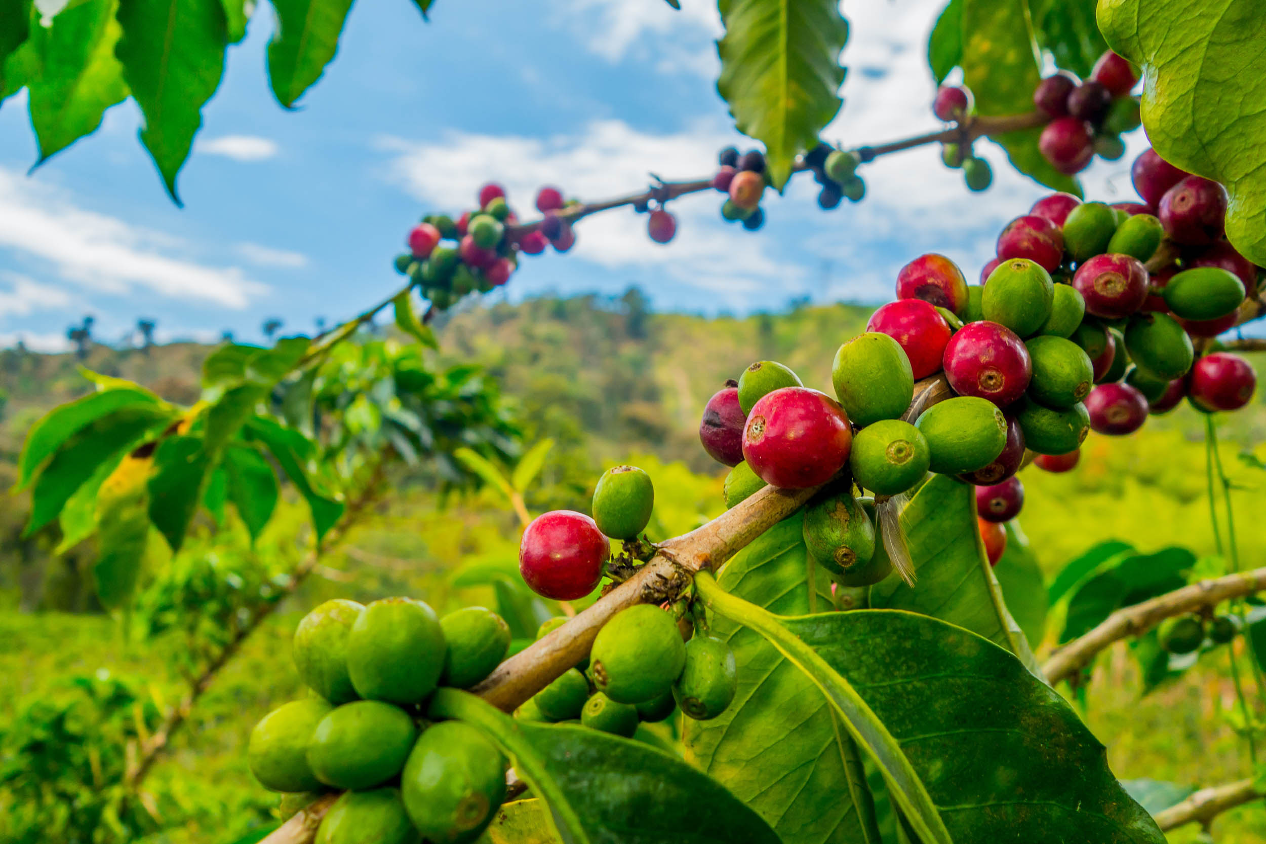 Grow coffee beans during climate change