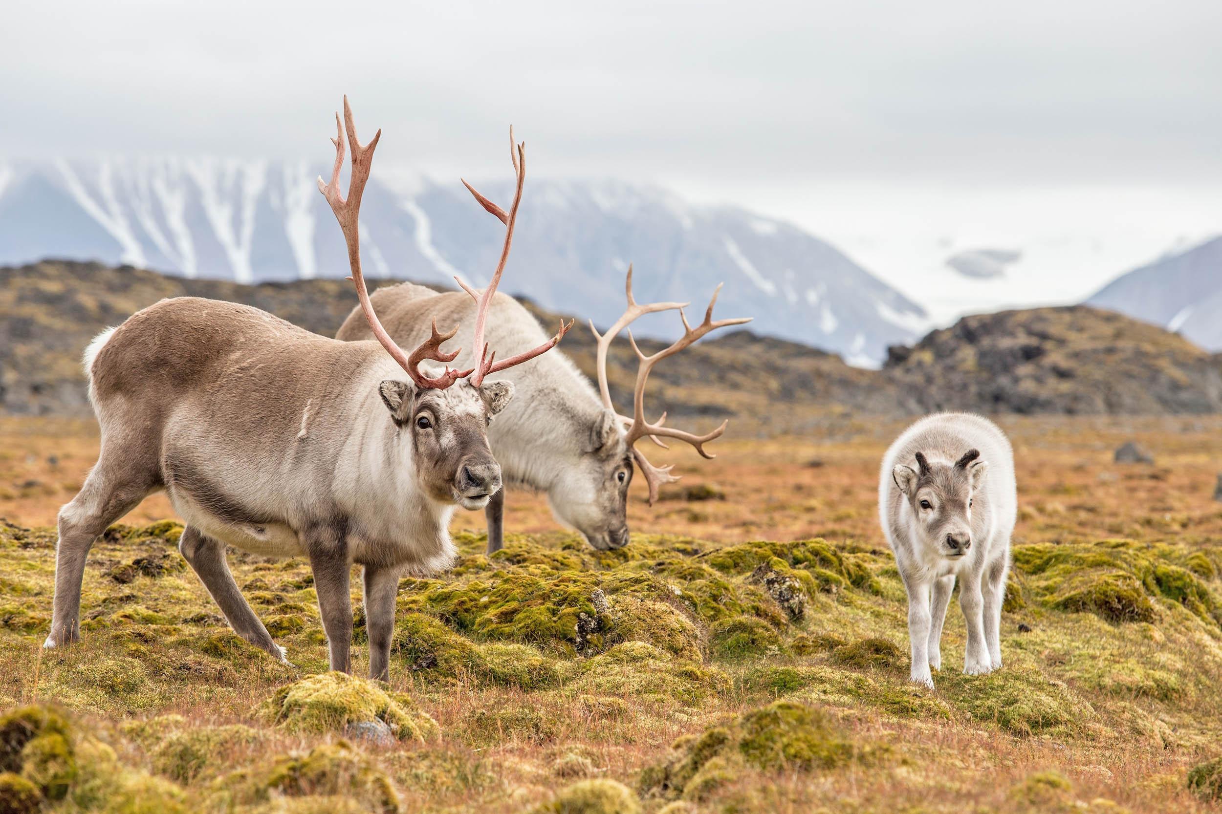 Reindeer in Siberia