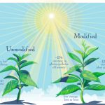 Genetically modified photosynthesis
