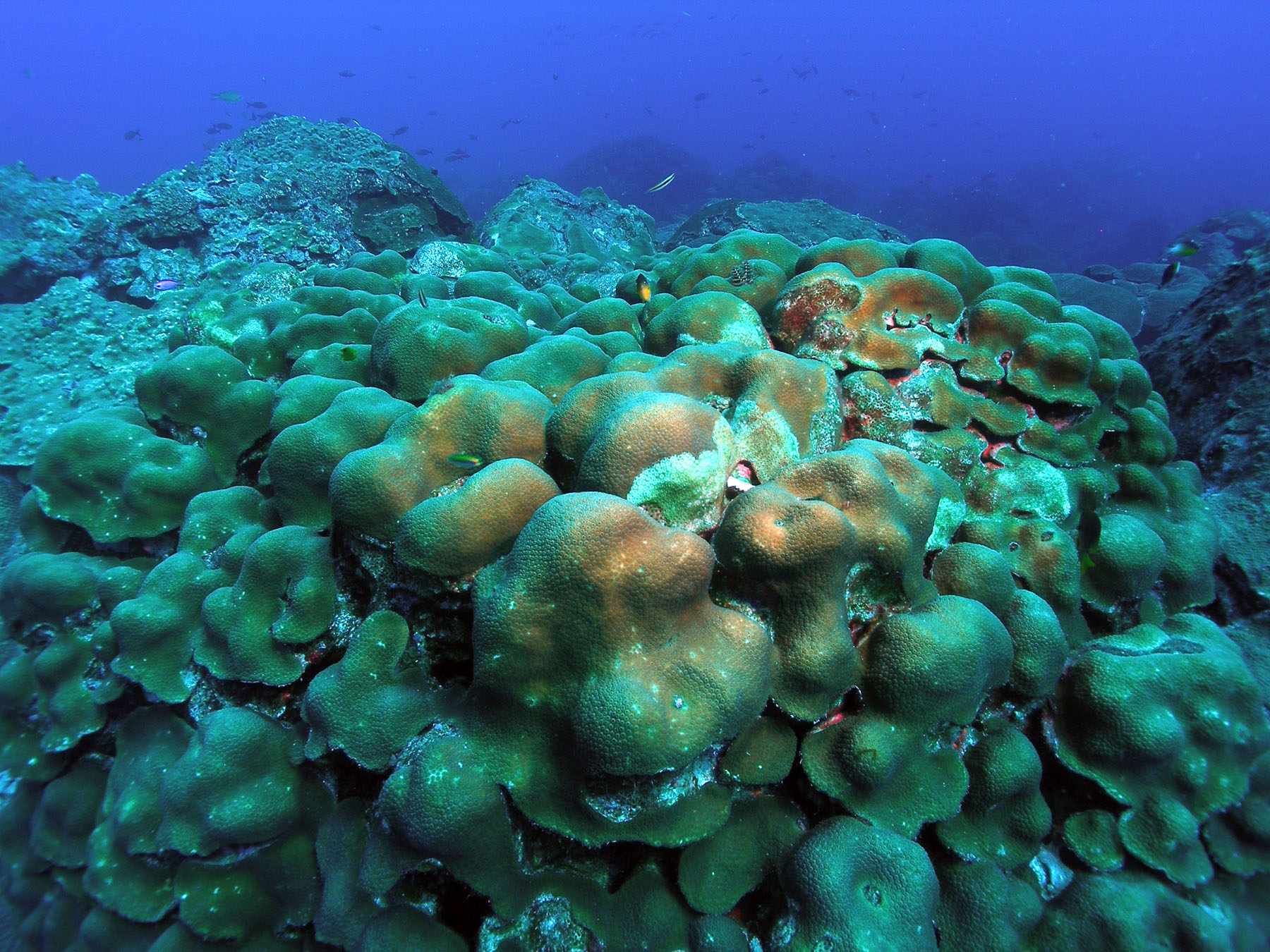 Corals survive and thrive after disasters