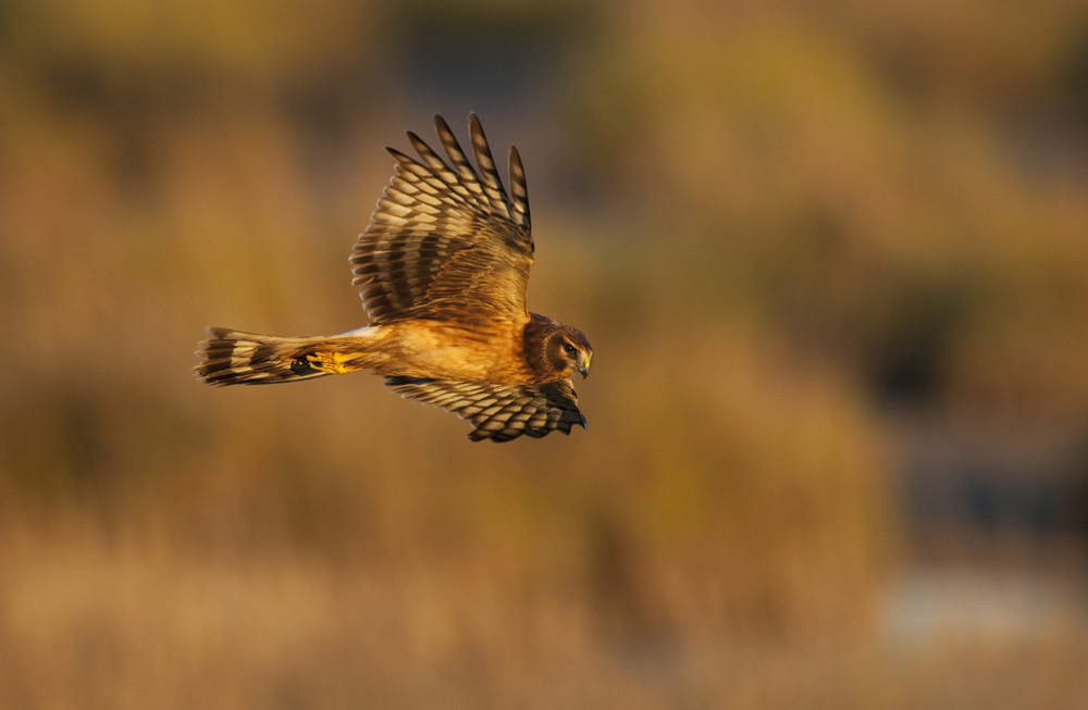 Bird fanatics now have two species of hen harrier to love – and one more checkbox to add to their birding lists.