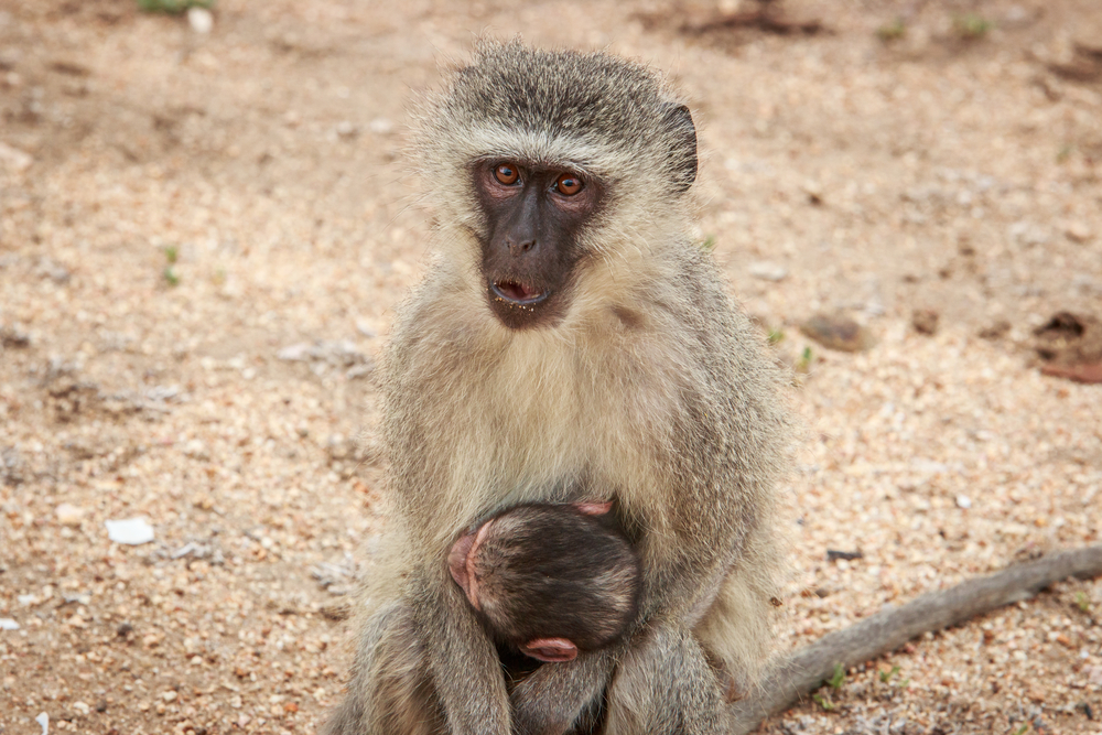 When it comes to choosing who deserves their affections, female monkeys prefer males who fight for the good of the group.