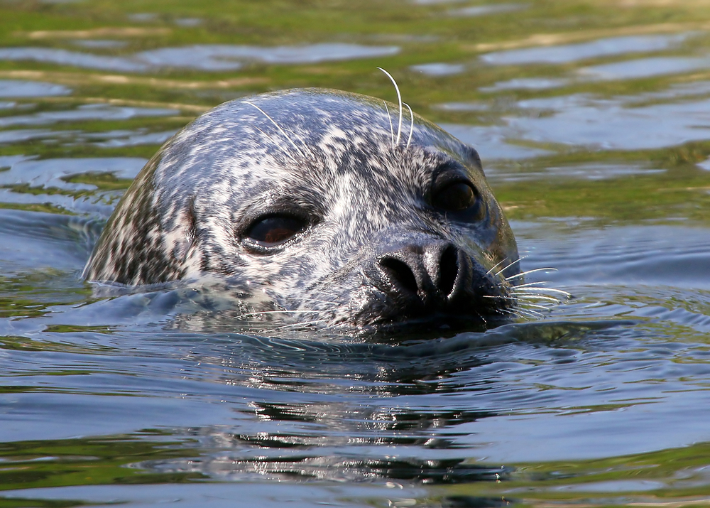 A harbor seal surfaces. The marine mammals have been dying in droves off the Scottish coast, and scientists are working to figure out why.