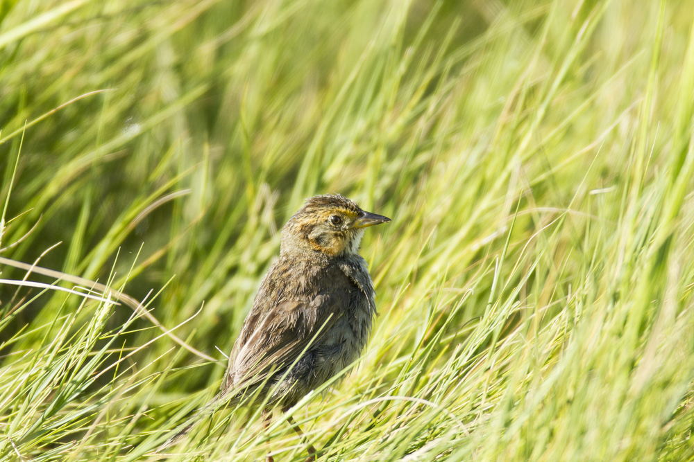 The saltmarsh sparrow may become extinct within the next 50 years as rising sea levels reduce marsh space available for nesting.