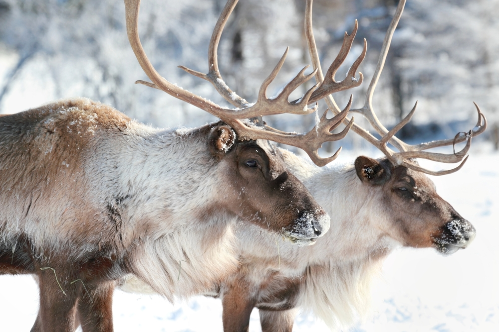 A massive herd of caribou that roams the Arctic region of the state has dwindled, with its population declining by more than half in just six years.