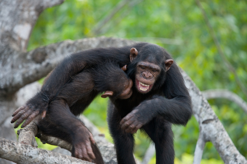 Chimpanzees appear to recognize rear ends with as much ease as faces, according to a new study on face processing among the primates.