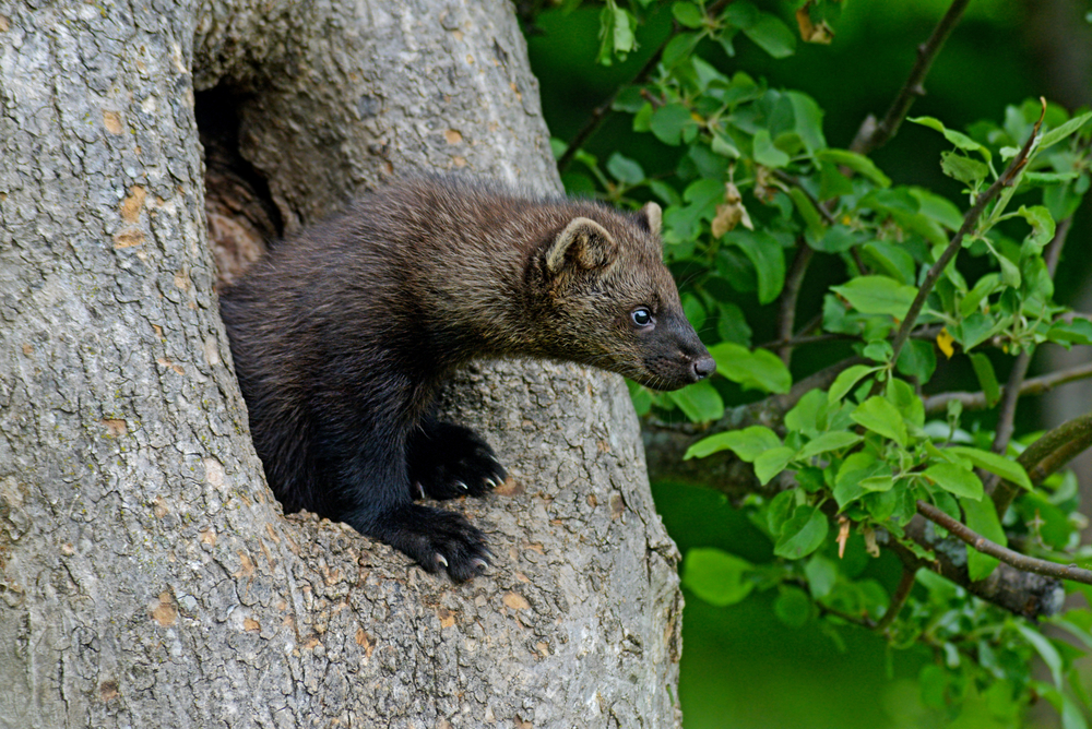 It's been 70 years since the elusive Pacific fisher, a member of the weasel family, has been seen near Mount Rainier, Washington.