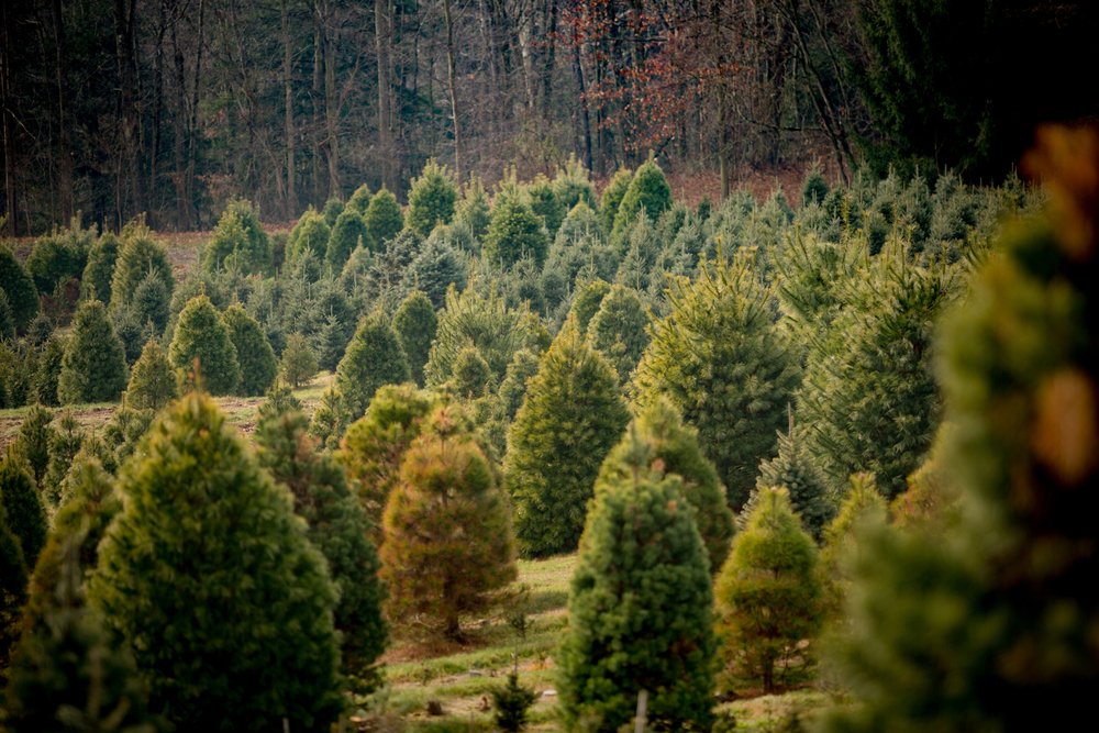 Christmas trees for sale at a farm offering several species of conifer for sale. Thieves stole five rare Serbian spruce trees from a conservation project at Kinnoull Woodland Park, just outside Perth, Scotland.