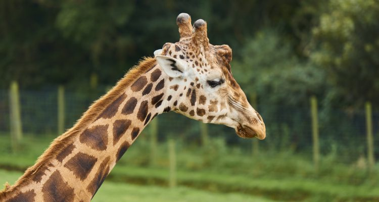 Giraffes wander the wild in a few parts of the African savannah – but they have now been placed on the extinction watchlist.