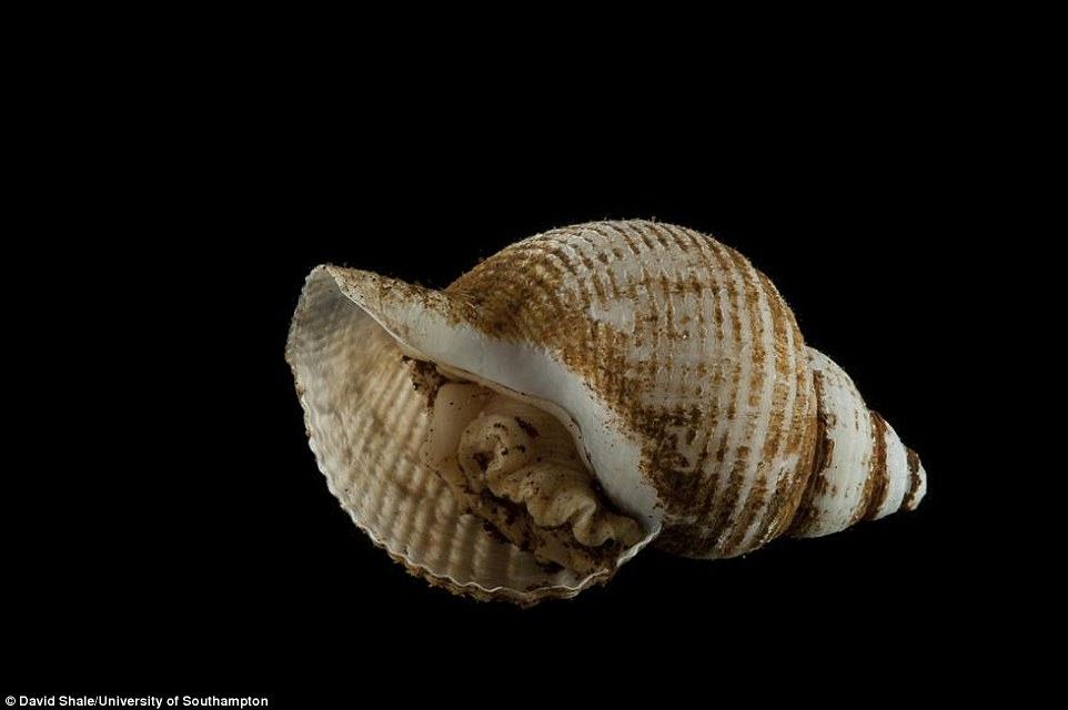 Pictured is a new species of snail called Phymorhynchus