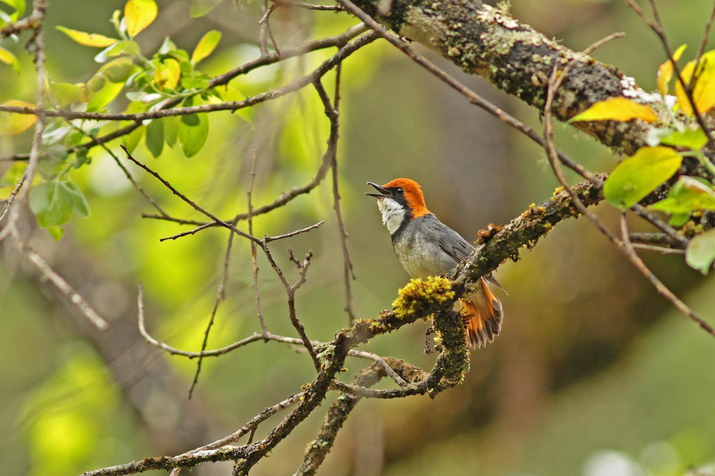 rufous-headed robin