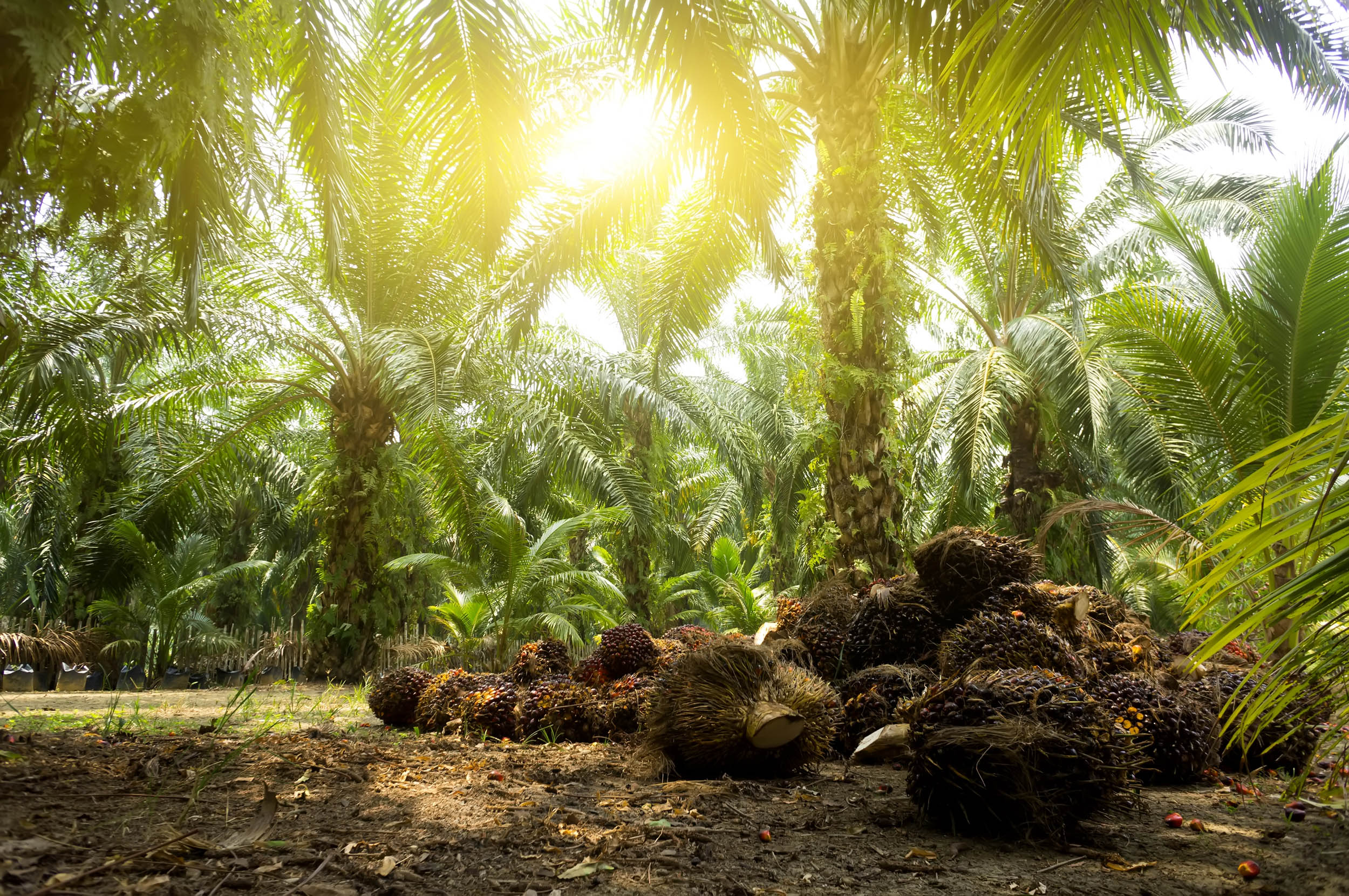 Palm oil plantations are limiting the movements of tropical butterflies