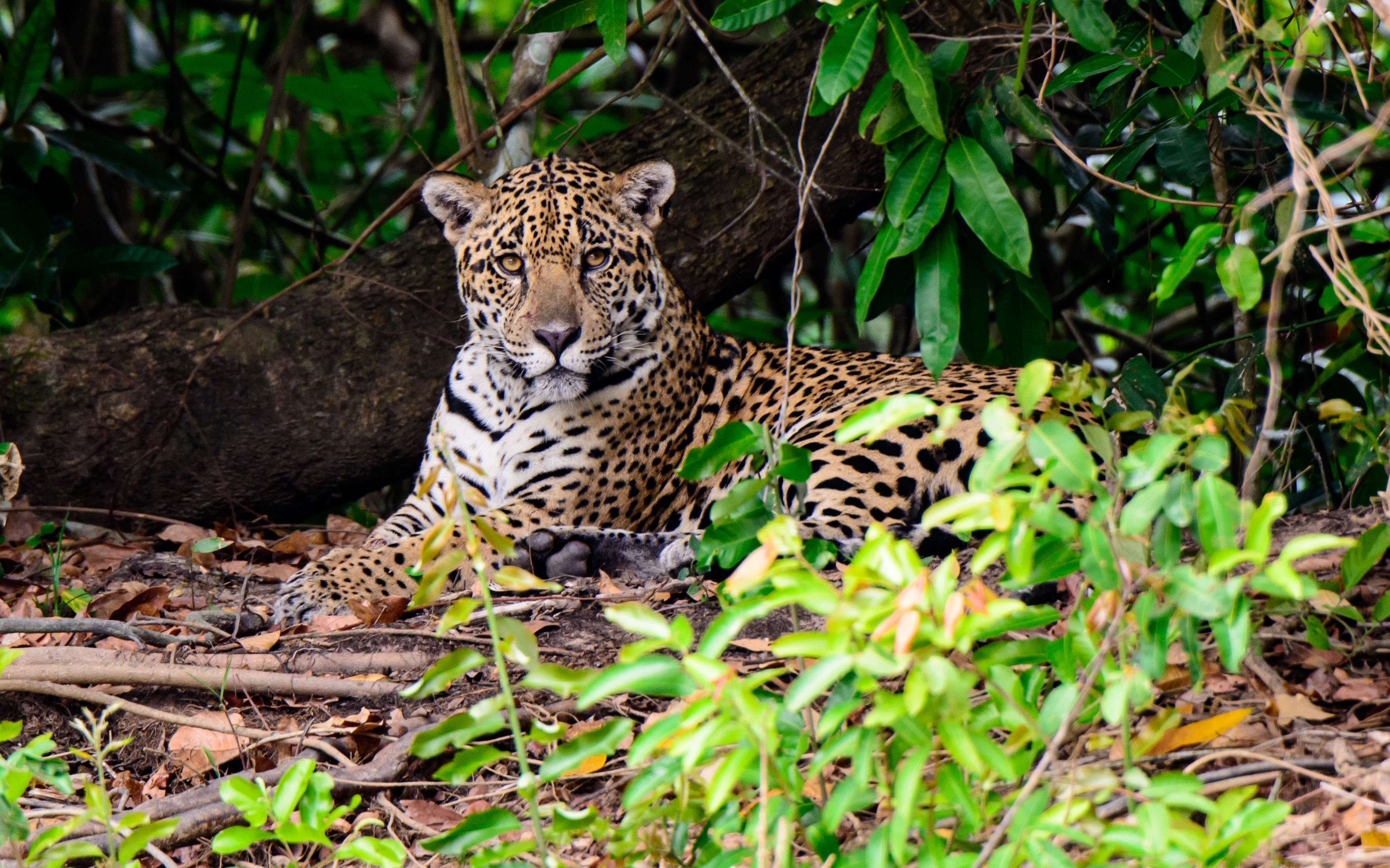 Jaguar recovery plan devised to save the majestic cat from extinction