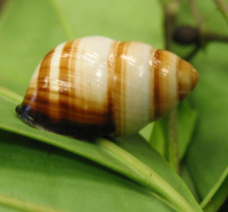 Achatinella spp.