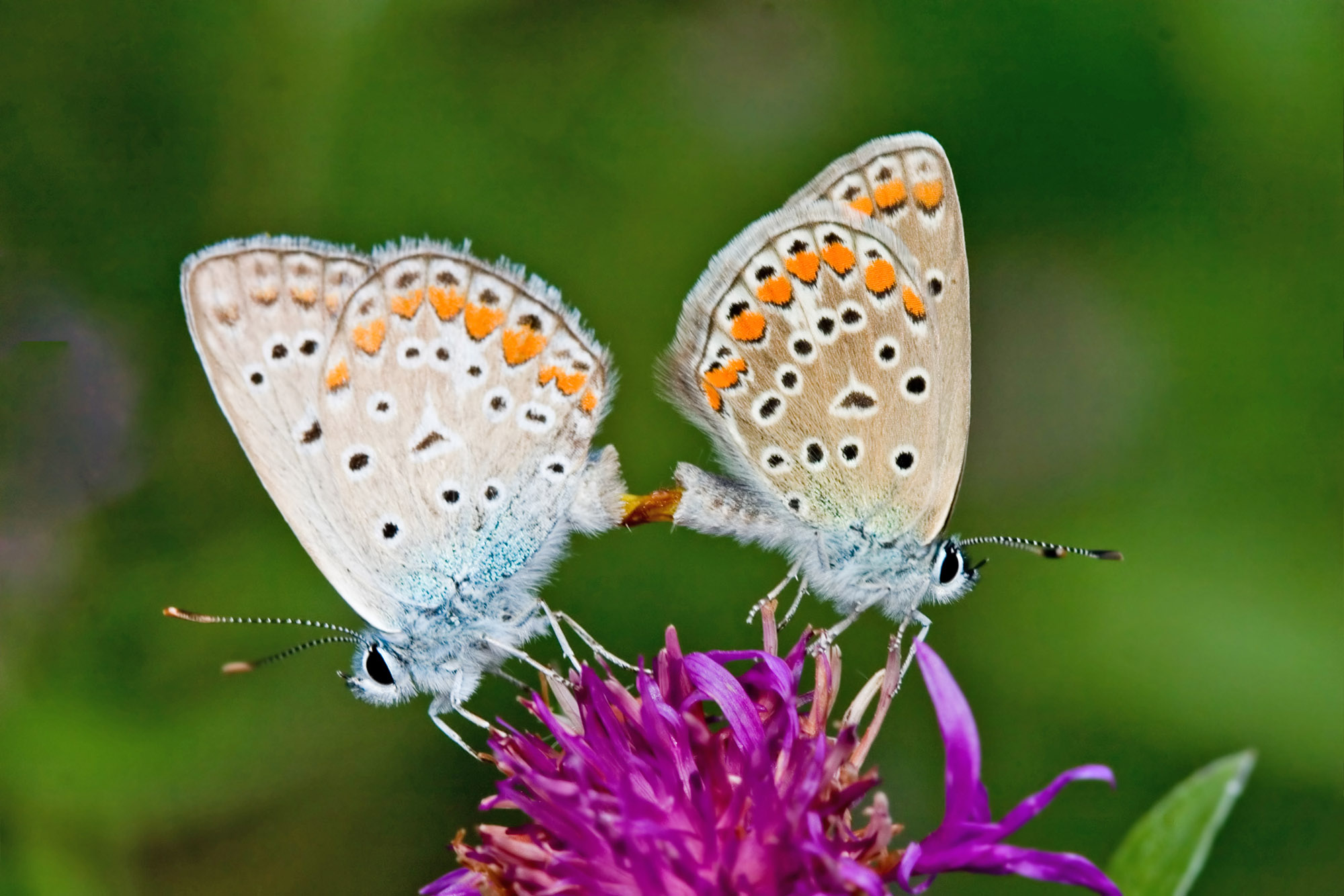 Promiscuous female butterflies can control which male fertilizes their eggs