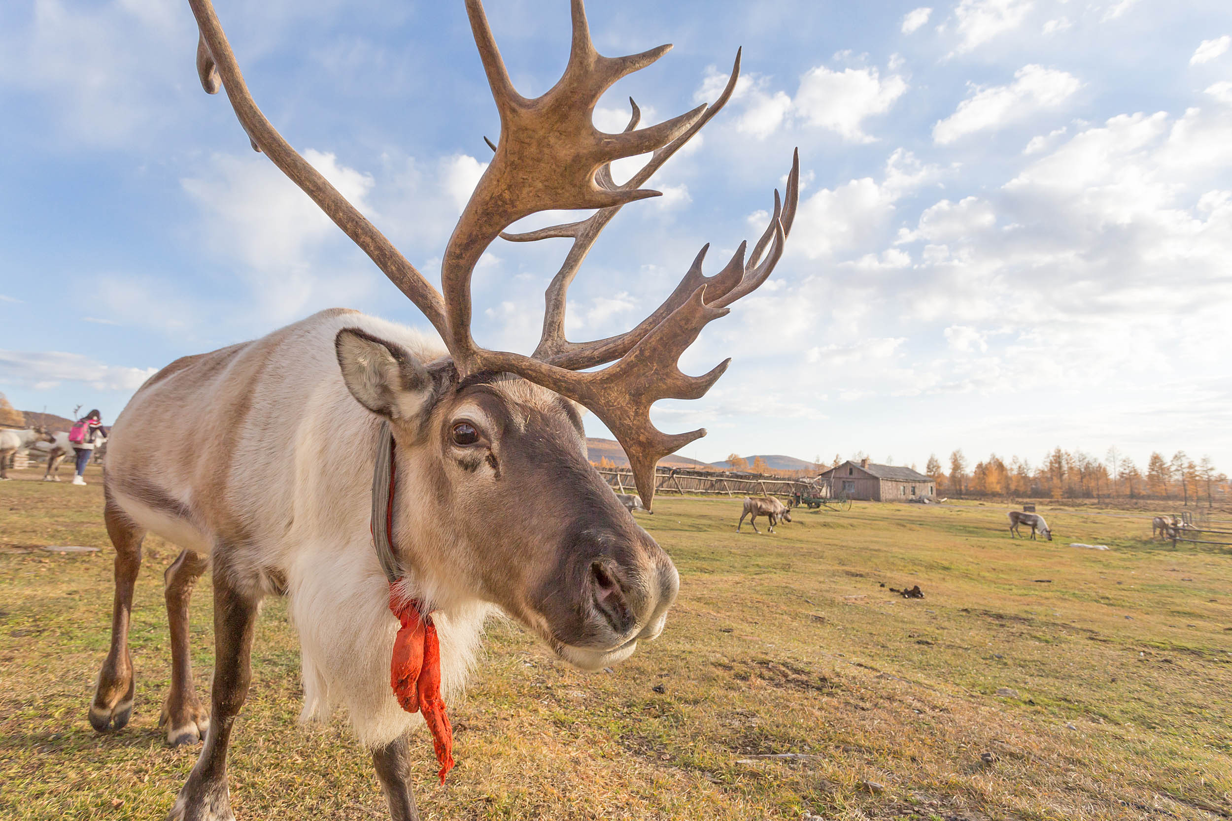 Reindeer might play an integral role in slowing down climate change