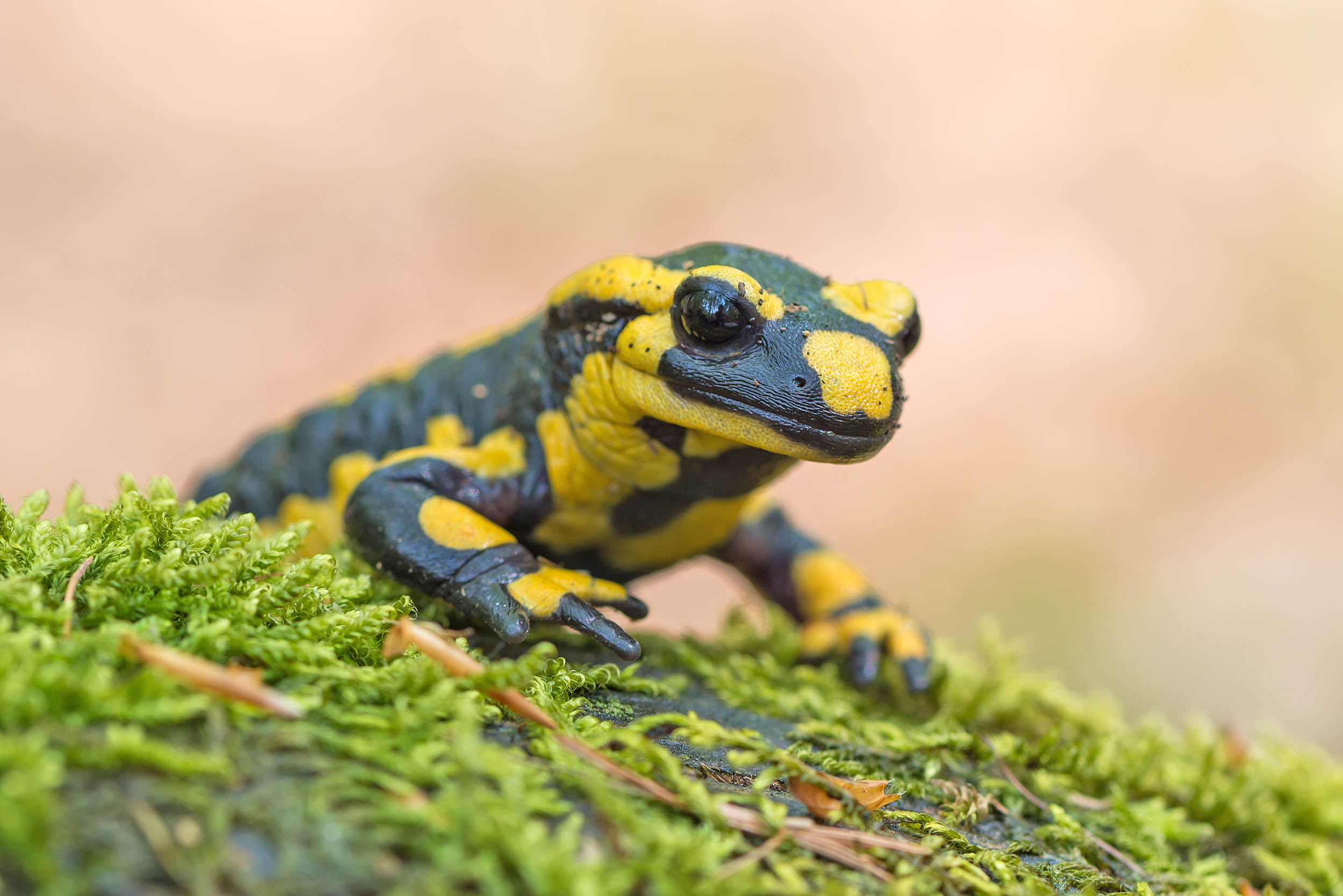 Salamanders will travel up to 9 miles for sex
