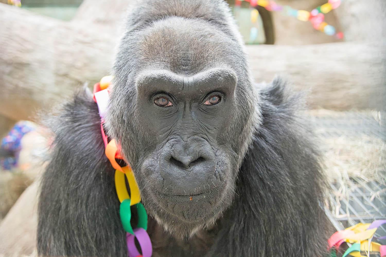 Colo's birthday: First gorilla born in human care turns 60