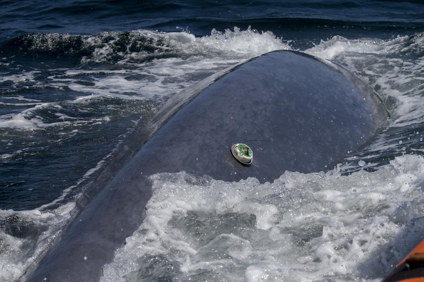 New whale tagging technology has provided new insights into whale life