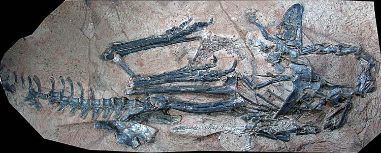 Limusaurus inextricabilis fossil. Credit: GWU
