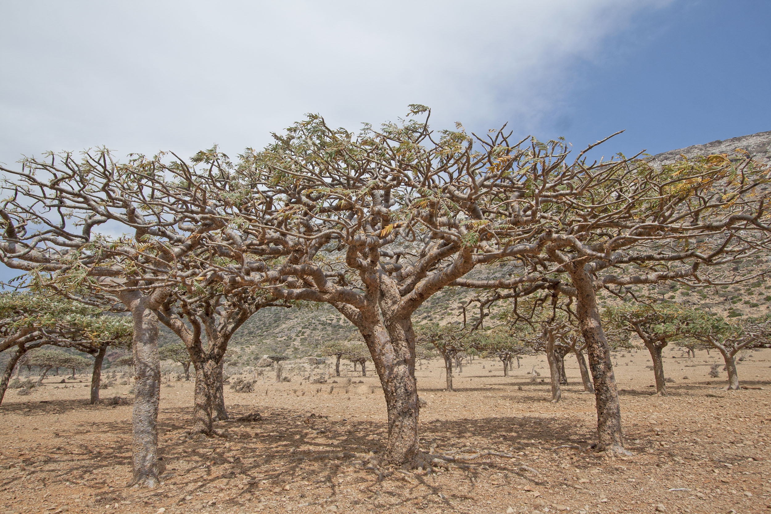 Famous Frankincense Forest Is In Serious Danger Earth Com