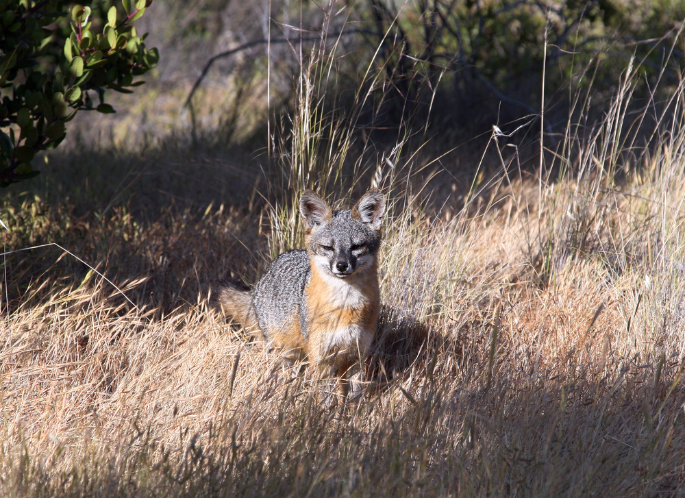 Among the good things that happened in 2016, Channel Islands foxes were one of several species that saw their populations grow.