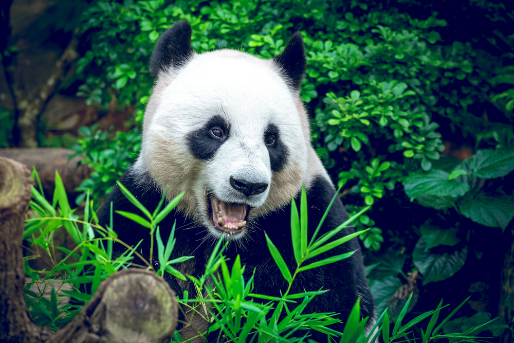 "Thanks to conservation efforts, giant pandas moved from ""endangered"" to ""vulnerable"" in 2016."