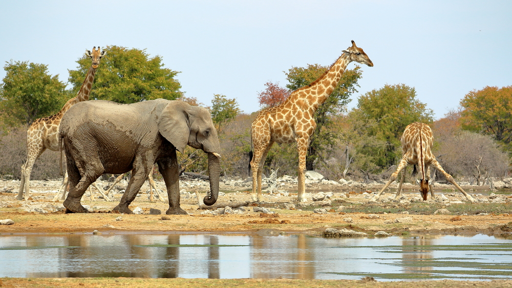 Giraffes and elephants share a watering hole at Namibia's Etosha National Park.