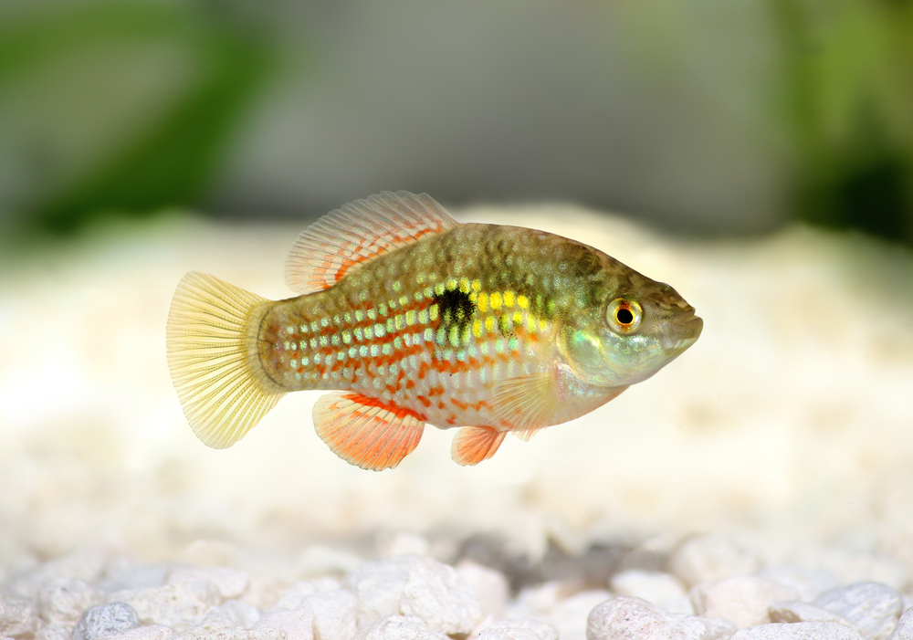 According to a recent study, genetics are behind the extraordinary specialization seen in Bahaman pupfish on San Salvador Island in the Bahamas.