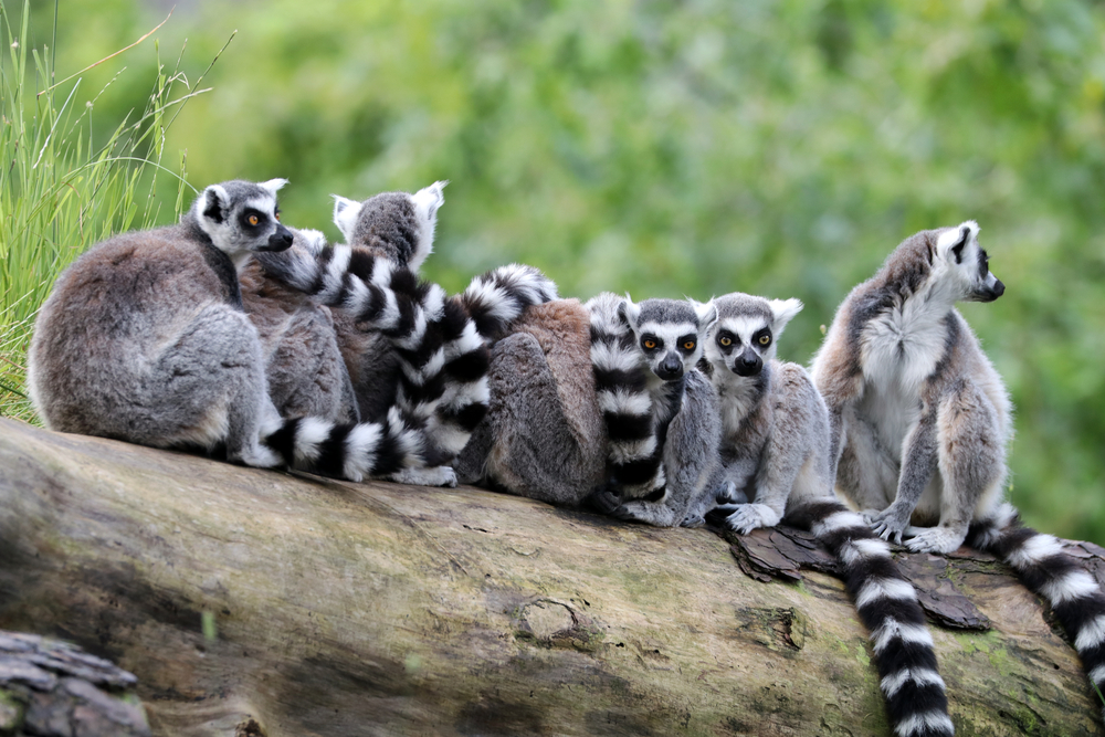 Ring-tailed lemurs continued their march toward extinction in 2016, with only about 2,500 left in the wild.