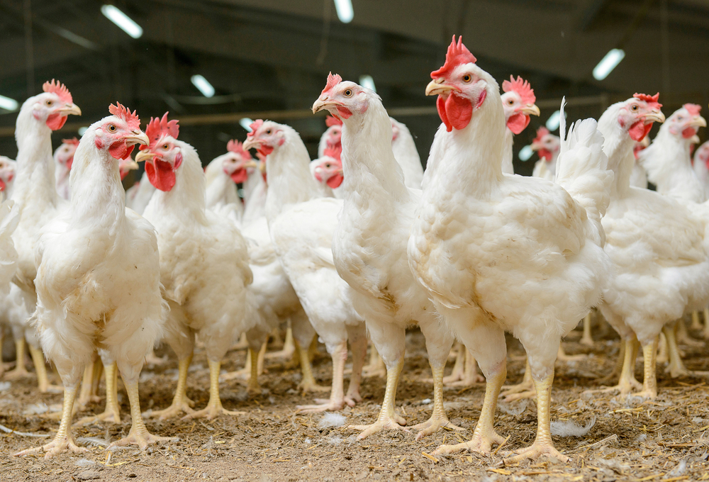 A new look at research into chicken psychology shows the birds may be smarter than we thought.