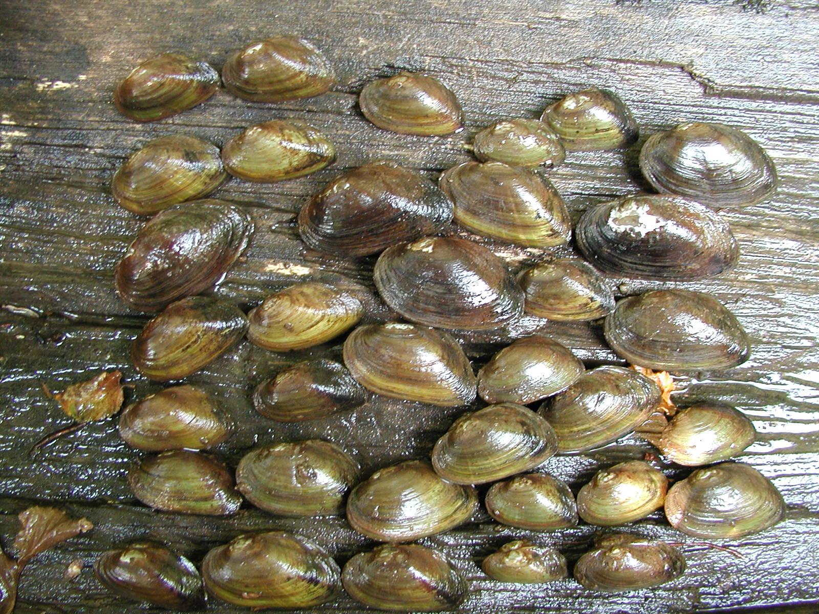 alasmidonta heterodon
