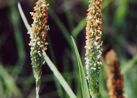 alopecurus aequalis var sonomensis