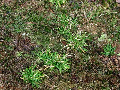 arenaria cumberlandensis