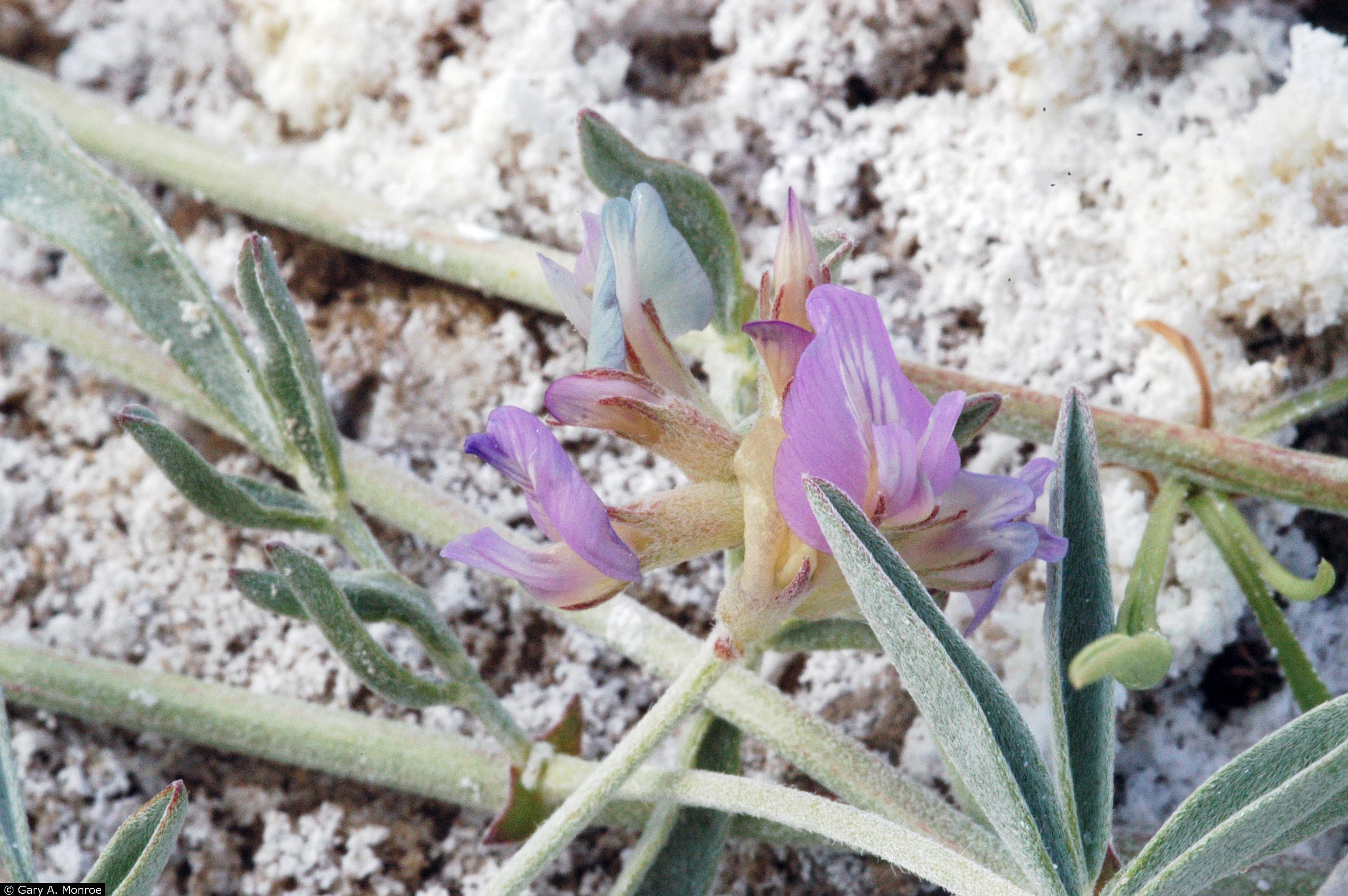 astragalus lentiginosus var piscinensis
