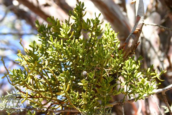 auerodendron pauciflorum