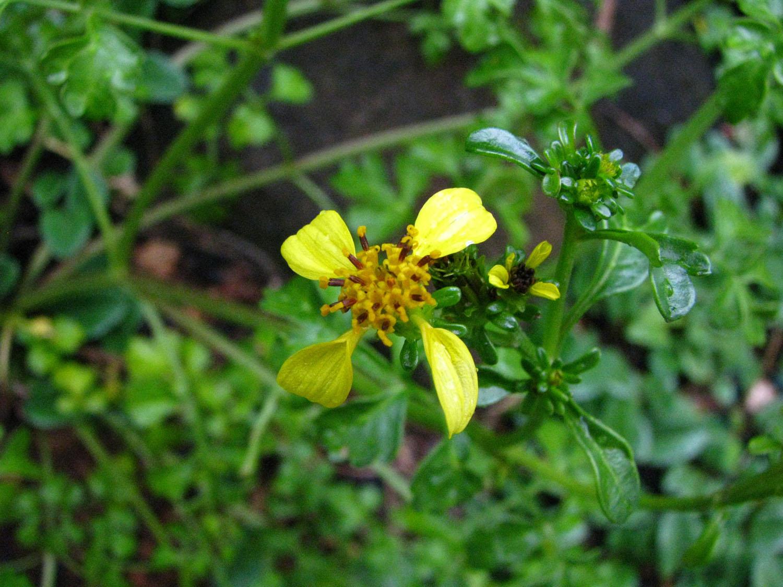 bidens hillebrandiana ssp hillebrandiana