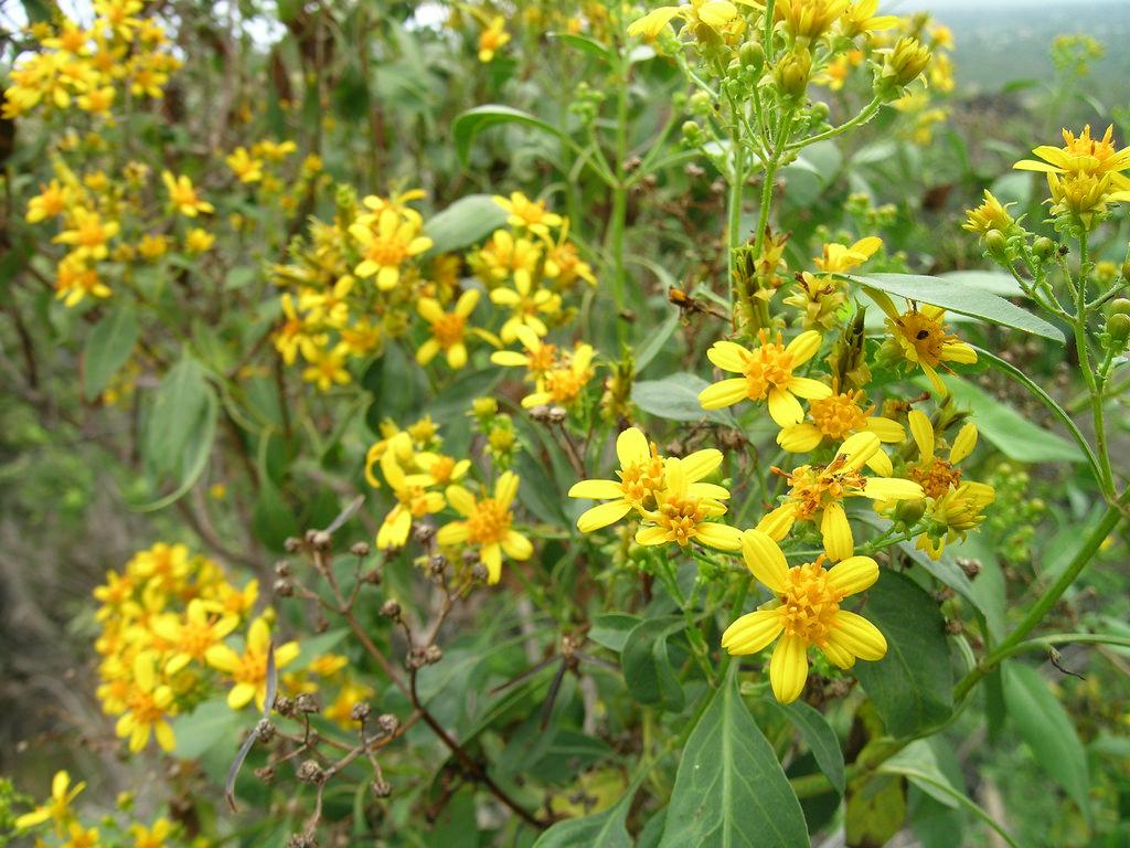 bidens micrantha ctenophylla