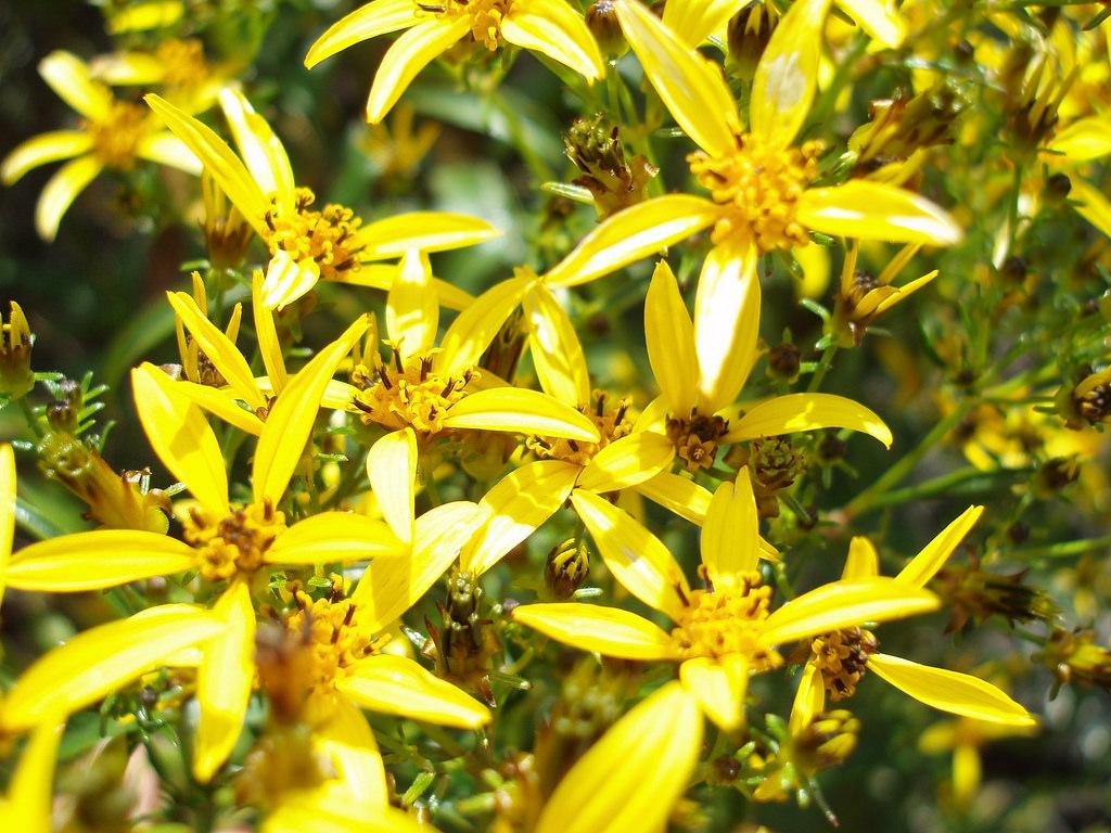 bidens micrantha ssp kalealaha