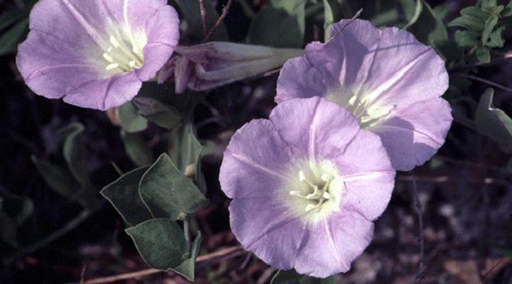 bonamia grandiflora