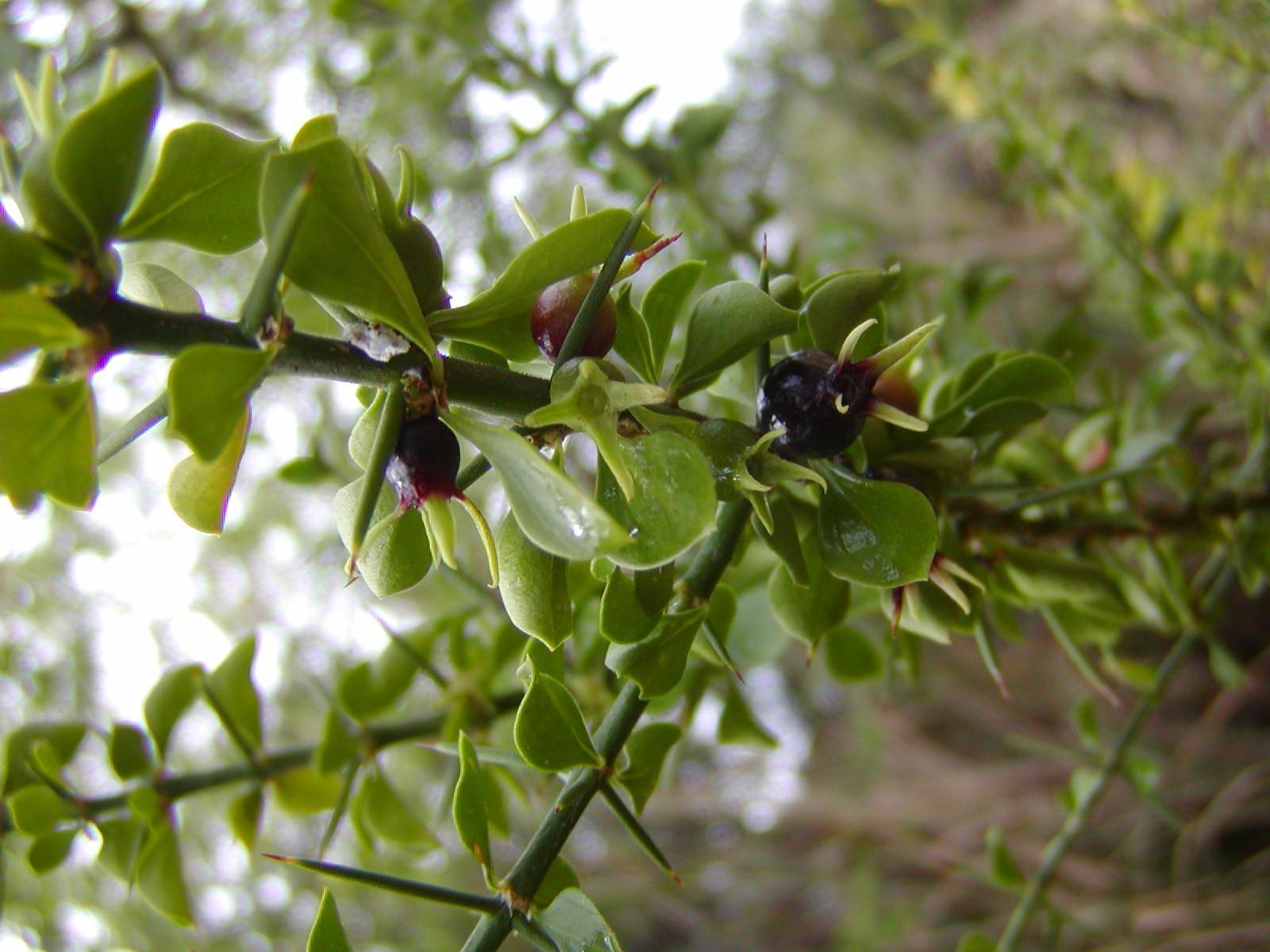 catesbaea melanocarpa