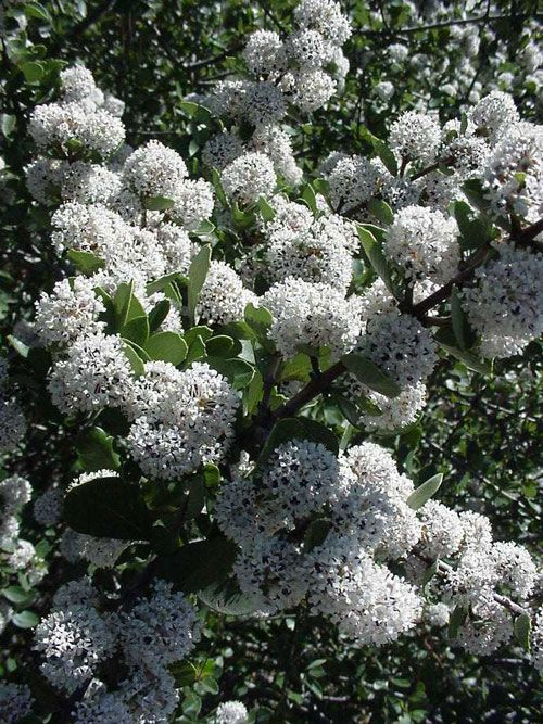 ceanothus ferrisae