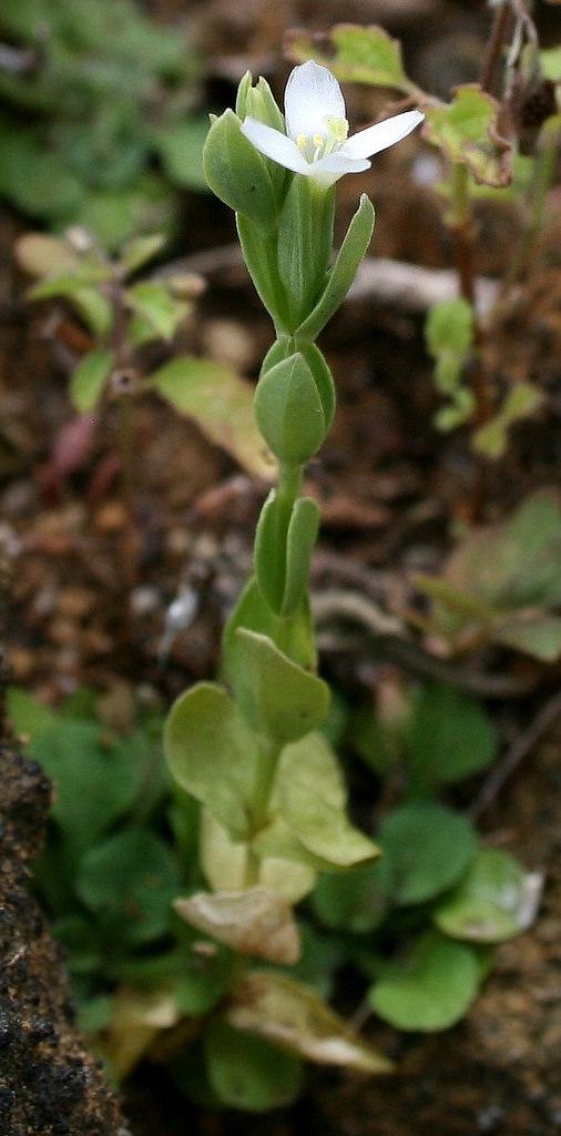 centaurium sebaeoides