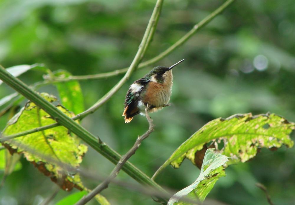 chaetocercus berlepschi