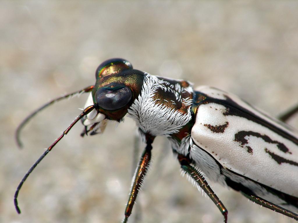 cicindela dorsalis dorsalis