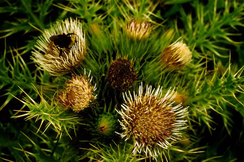 cirsium loncholepis