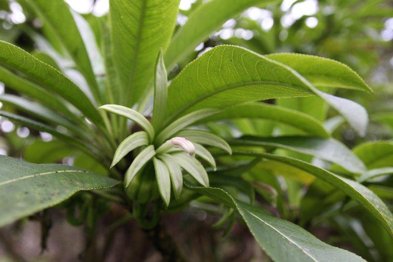clermontia lindseyana