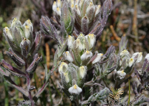 cordylanthus maritimus ssp maritimus