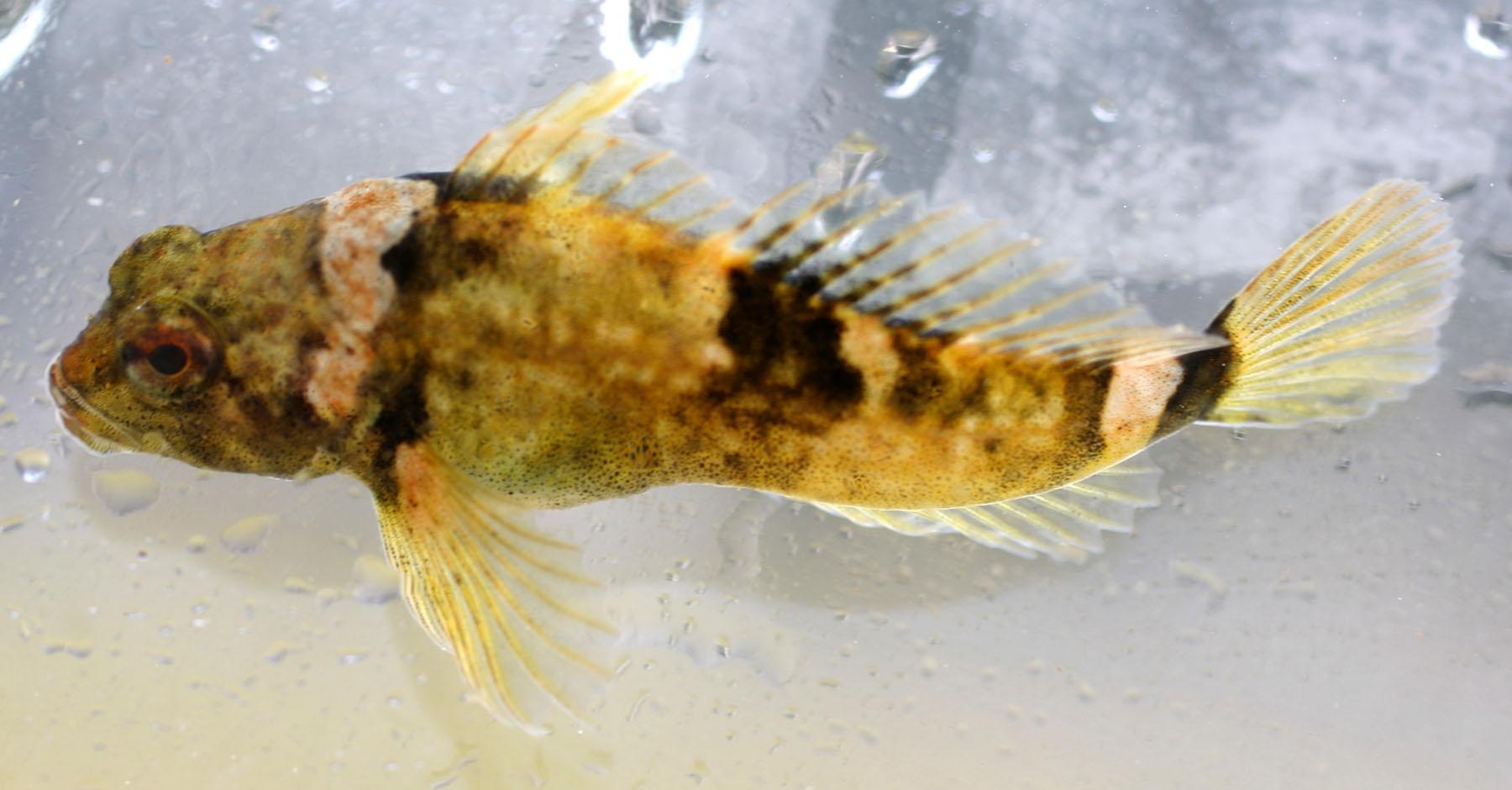 cottus paulus pygmaeus